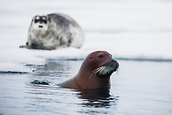 A female bearded seal (Erignathus barbatus) surfaces in the water after feeding on the ocean floor with her pup laying behind her on the pack ice, Svalbard, Norway