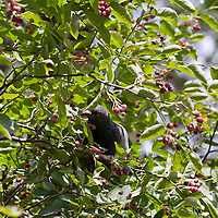 A pigeon feasts on berries in a Serviceberry tree. (Amelanchier canadensis)