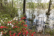 Azaleas blooming along the edge of blackwater bald cypress and tupelo swamp during spring at Cypress Gardens April 9, 2014 in Moncks Corner, South Carolina.