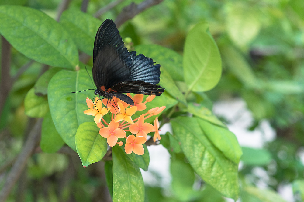 Close-up of a butterfly with black wings lands on an organge flower.