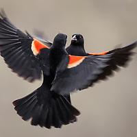 Perching Bird, Part 4