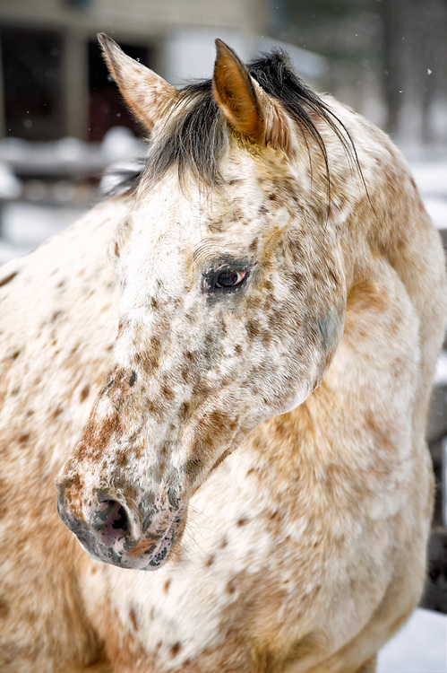 Belle, an Appaloosa mare, showing her spots in a winter head shot. The brown is in her cream coat and the darker blue spots are in her skin, which combine to make an unusual but beautiful look.
