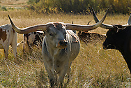 Longhorn Cattle, bull with cows