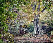 Nederland, Ubbergen, 3-11-2017Wandelen bij de oude kabouterboom in Beek. Beroemd is de kabouterboom, een kastanjeboom die de dikste boom van ons land is, en twee branden en granaatinslagen tijdens de 2e wereldoorlog heeft doorstaan.  De sprookjesachtige Kabouterboom wordt algemeen aangezien als de dikste boom van Nederland. Het is een tamme kastanje . Locatie is opgenomen in de wandelroute walk of wisdom die door de regio, omgeving, rijk van nijmegen voert. .FOTO: FLIP FRANSSEN