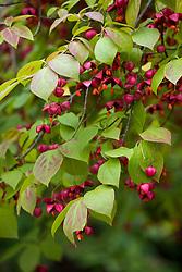 Euonymus sachalinensis. Asian Spindle Tree
