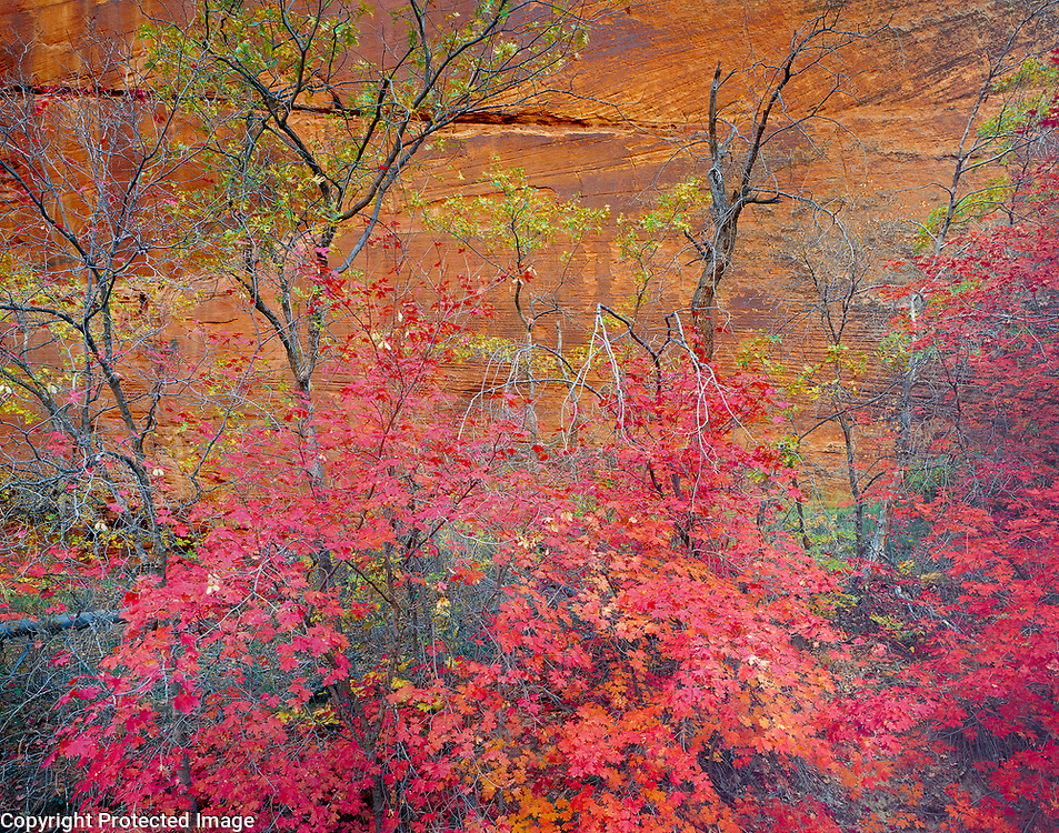 Red maples and slickrock, Zion National Park, Utah  1985