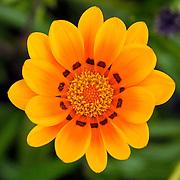 Yellow flower, Brisbane, Australia (March 2003)