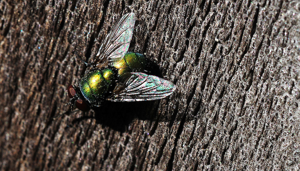 A fly rests on weathered Cedar fence.