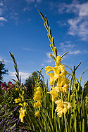 tall yellow flowers against a blue sky with clouds on a bright sunny day