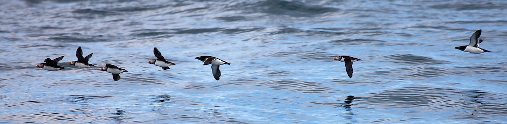 Atlantic Puffin, North America