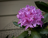 Rhododendron flowers. Image taken with a Leica CL camera and 60 mm f/2.8 lens (ISO 100, 60 mm, f/4.5, 1/1000 sec).