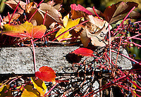 Red autumn leaves, berries and granite in Valle Onsernone,  Ticino, Southern Switzerland.
