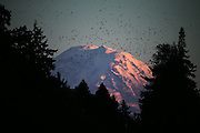 A flock of birds fly in front of Mount Rainier, illuminated at sunset and framed by trees in Seward Park.<br />