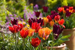 Tulipa 'Havran', 'Prinses Irene' and 'Couleur Cardinal' growing in pots in the oast garden