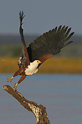 African Fish-eagle (Haliaeetus vocifer) taking off in flight from a branch