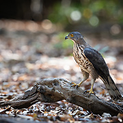 The crested goshawk (Accipiter trivirgatus) is a bird of prey from tropical Asia. It is related to other diurnal raptors such as eagles, buzzards (or buteos) and harriers, and thus placed in the family Accipitridae. Like its relatives, this secretive forest bird hunts birds, mammals and reptiles in woodland, relying on surprise as it flies from a perch to catch its prey unaware.