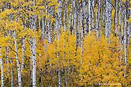 Aspen grove in peak fall color in Glacier National Park in Montana