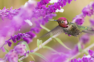Anna's hummingbird feeding on nectar, with pollen on beak.