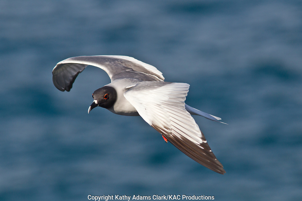 Swallow-tailed gull, in flight off Plaza Island, Galapagos, Ecuador.