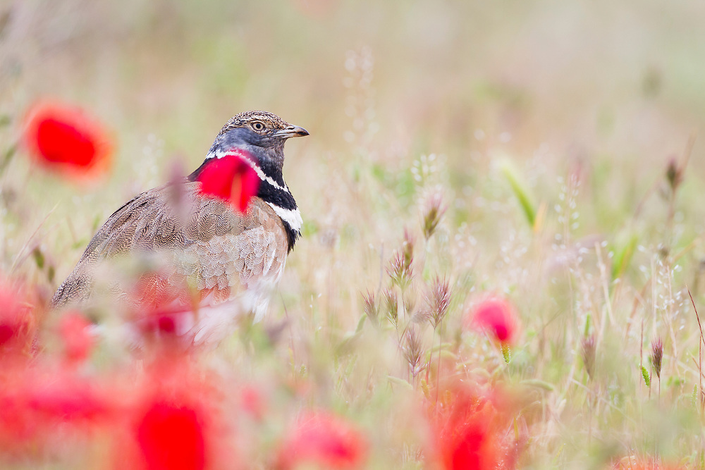 Little Bustard (Tetrax tetrax) male behind poppies. Lleida province. Catalonia. Spain.
