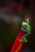 Red-eyed tree frog; Red-eyed treefrog; Agalychnis callidryas; Costa Rica; Sarapiqui