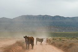 Three young calves stare down a vehicle along the Dry Gulch Fork road near Escalante, Utah.