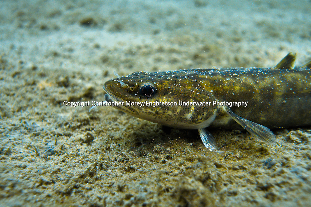 Burbot (juvenile)<br /> <br /> Christopher Morey/Engbretson Underwater Photo