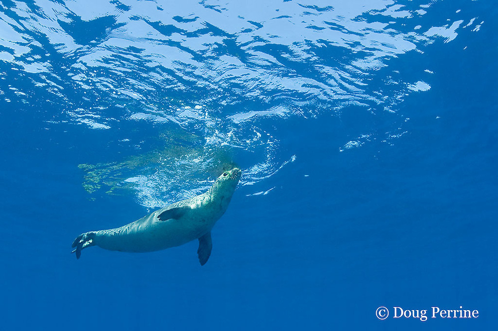 male Hawaiian monk seal, Monachus schauinslandi ( critically endangered endemic species ), breathing at surface, Lehua Rock, near Niihau, off Kauai, Hawaii ( Pacific Ocean )