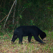Wild sun bear (Ursus malayanus), sometimes known as the honey bear in a Thailand National Park.