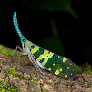 A Pyrops viridirostris lantern bug at Erawan National Park in Kanchanaburi, Thailand.