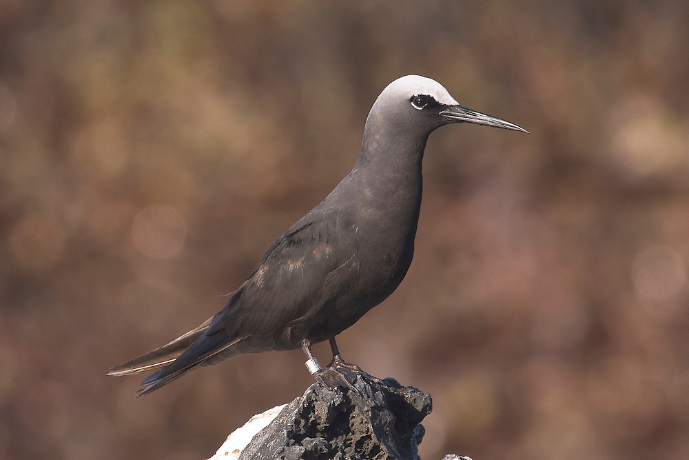 Black Noddy photo Hawaii