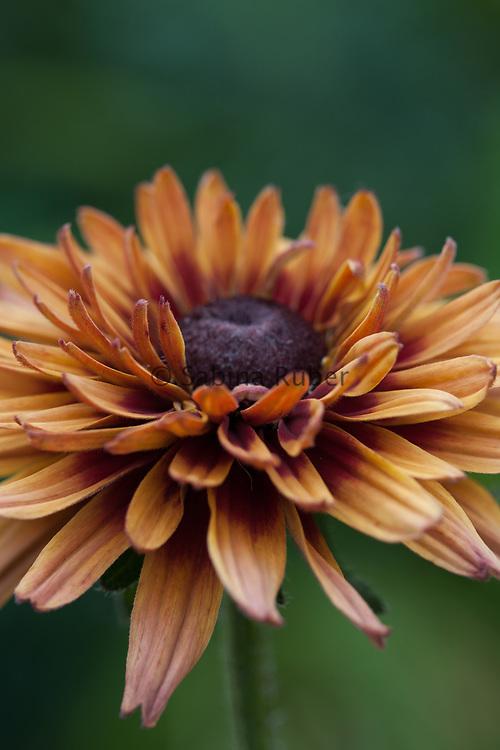Rudbeckia hirta 'Sahara' - black-eyed Susan