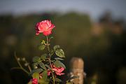 Springtime at Résonance Vineyard, Carlton-Yamhill AVA, Willamette Valley, Oregon