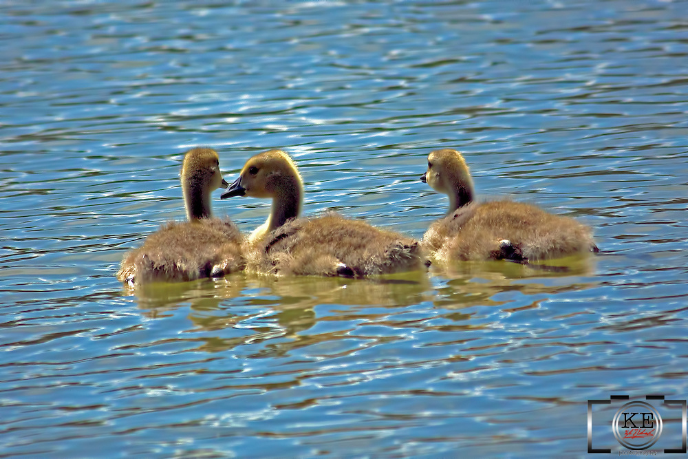 Three goslings (baby geese) out for a swim on a sunny summer day.