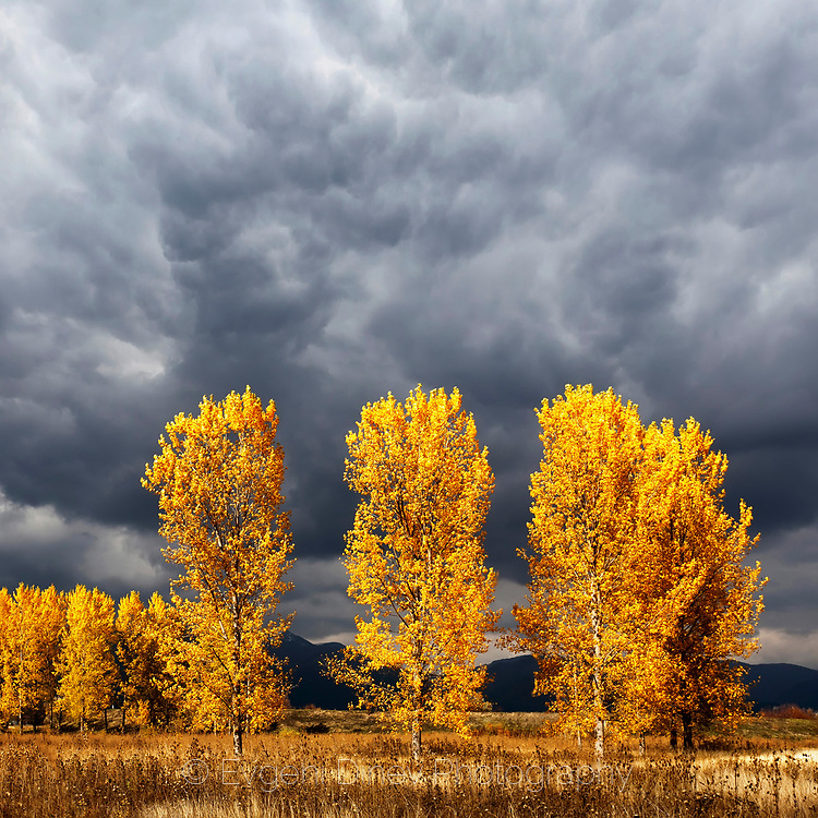 Orange autumn poplars with a dark stormy sky behind