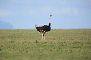 Ostridge, Common Ostridge, male, Massajstruts, Struthio camelus, Struthio camelus massaicus, Serengeti, Tanzania, Africa