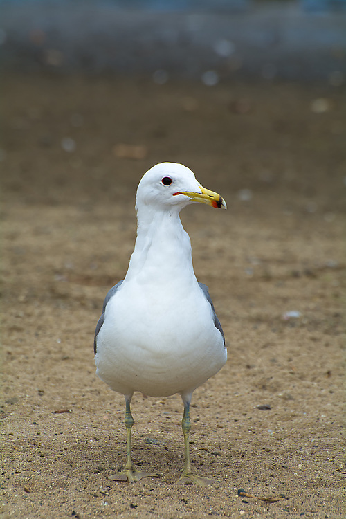 The California gull is a medium-sized, common migratory gull found across most of the western half of North America. Primarily feeding on fish, insects and eggs, it is a well-known scavenger of trash and garbage. It breeds far inland as far as Colorado north to Canada's Manitoba and the Northwest Territories, but it always returns to the Pacific Coast in the winter. This one was among many found in Los Angeles, California near Del Rey Lagoon on a warm, sunny springtime afternoon.