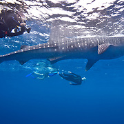 Horizontal photo of an underwater photographer and a Whale Shark (Rhincodon typus) while two snorkelers observe at Gladden Spit and Silk Cayes Marine Reserve, off the coast of Placencia, Stann Creek, Belize.