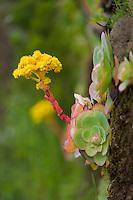 Bejeque flower (Greenovia diplocyla) in La Palma, Canary Islands, Spain.