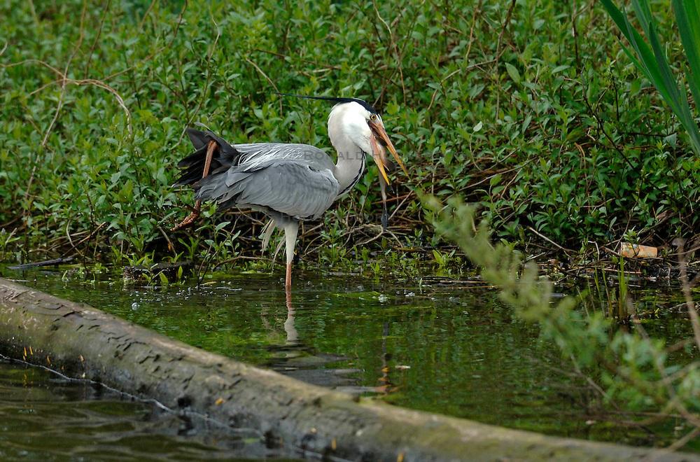 27-04-2005 NATUUR: BIRDWATCHING IN NEDERLAND HET HELE JAAR 2005: OPBUUREN: MAARSSEN<br /> <br /> Blauwe Reiger vangt vis op de vecht<br /> <br /> ©2005-WWW.FOTOHOOGENDOORN