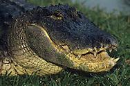 Vereinigte Staaten von Amerika, USA, Florida: amerikanischer Mississippi-Alligator (Alligator mississippiensis) im Gras. Aehnlichkeit mit einem Dinosaurier. | United States of America, USA, Florida: American Alligator, Alligator mississippiensis, in the grass, portrait, dinosaur-like. |