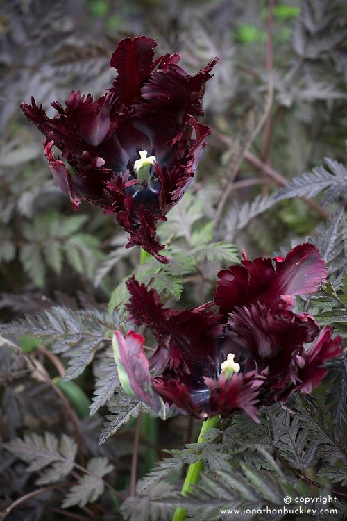 Tulipa 'Black Parrot' growing through Anthriscus sylvestris 'Ravenswing' (Black cow parsley)