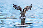 Canada Goose (Branta canadensis) Landing-Sequence #2