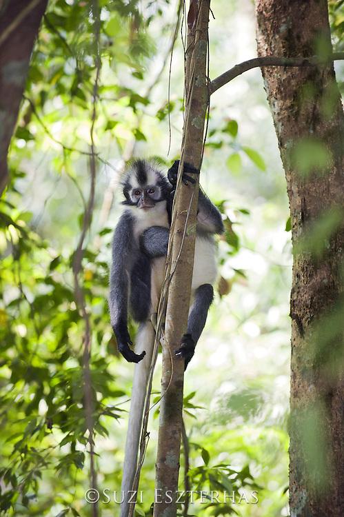 Thomas&rsquo;s leaf monkey<br /> Presbytis thomasi<br /> North Sumatra, Indonesia