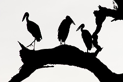 A trio of open-billed storks perch in an ebony forest within South Luangwa National Park in Zambia. *50% of the proceeds from this image will go to the South Luangwa Conservation Society, started by Rachel McRobb when she was a food server at a safari camp. It now plays a huge role in the conservation of wildlife and community development in the Luangwa valley. Thanks for your support!