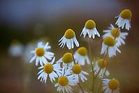 Matricaria chamomilla (Matricaria recutita )   Flower Greenland