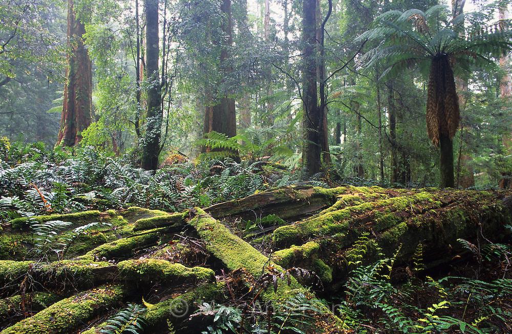 Temperate rainforest, Milkshake Hills Forest, Tasmania