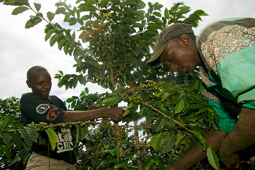 Africa, Kenya, Ruira, (MR) Young men picking Arabica coffee beans during harvest at Socfinaf's Oakland Estates plantation