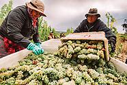Martorana Family Winery Harvest 2016