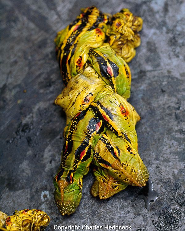 Roasted Hyles lineata caterpillars, prepared in a traditional way  as the O&rsquo;odham are believed to have done. called &ldquo;makkum&rdquo; by the O&rsquo;odham.<br />